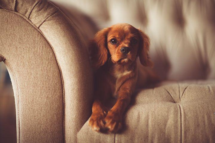 dog sitting in a sofa